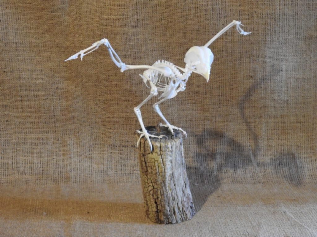 Strix aluco skeleton, bosuil skelet, tawny owl